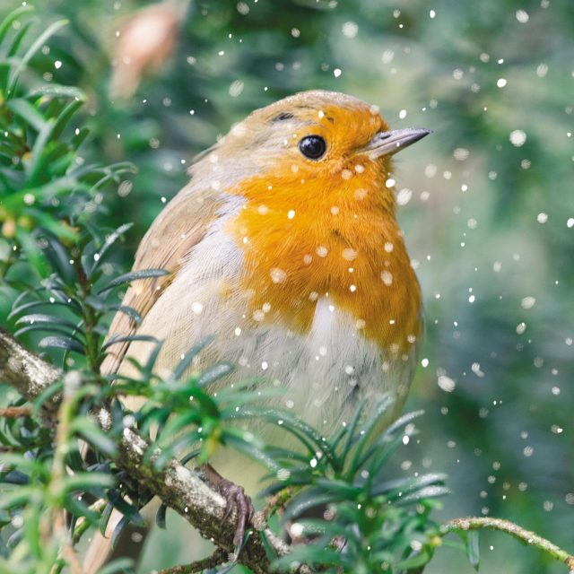 Robin on a branch charity Christmas card